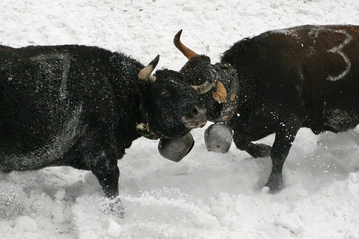 Traditional cow fighting at Leukerbad, Valais, Switzerland.