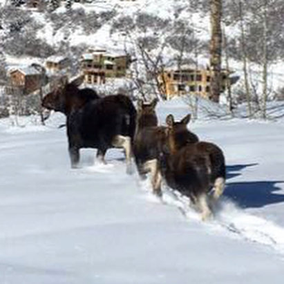 Steamboat - Mamma moose and two yearlings off BC Skiway.  - ©Mark's iPhone