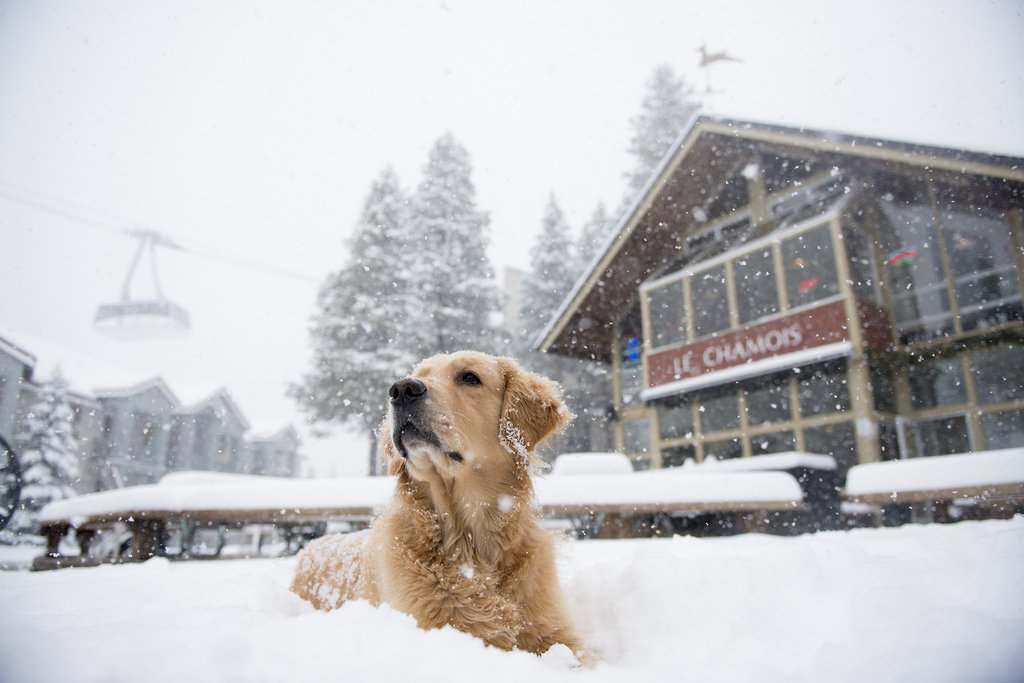 An avalanche dog enjoys the powder outside of Le Chamois in The Village at Squaw Valley