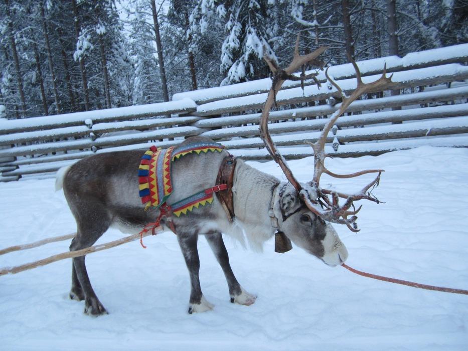 Reindeer safari in Lapland - ©Patrick Thorne