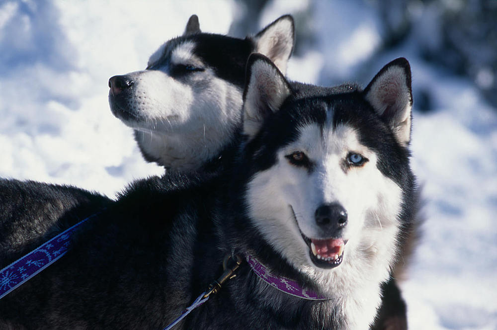 Huskies in the Combe de Mijoux