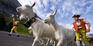 Alpfahrt der Ziegen - ©Appenzellerland Tourismus