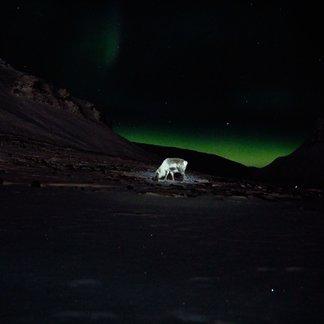 Skikjøring på Svalbard - ©Vigdis Skogly