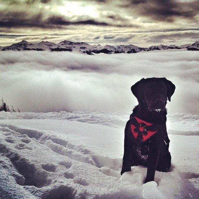 Wolf Creek avalanche dog surveys the snow. - © Wolf Creek