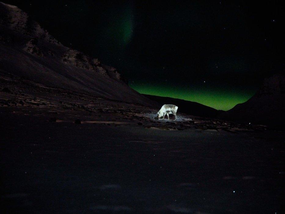Beitende rein i nordlys, opplyst av hodelykt. - ©Vigdis Skogly