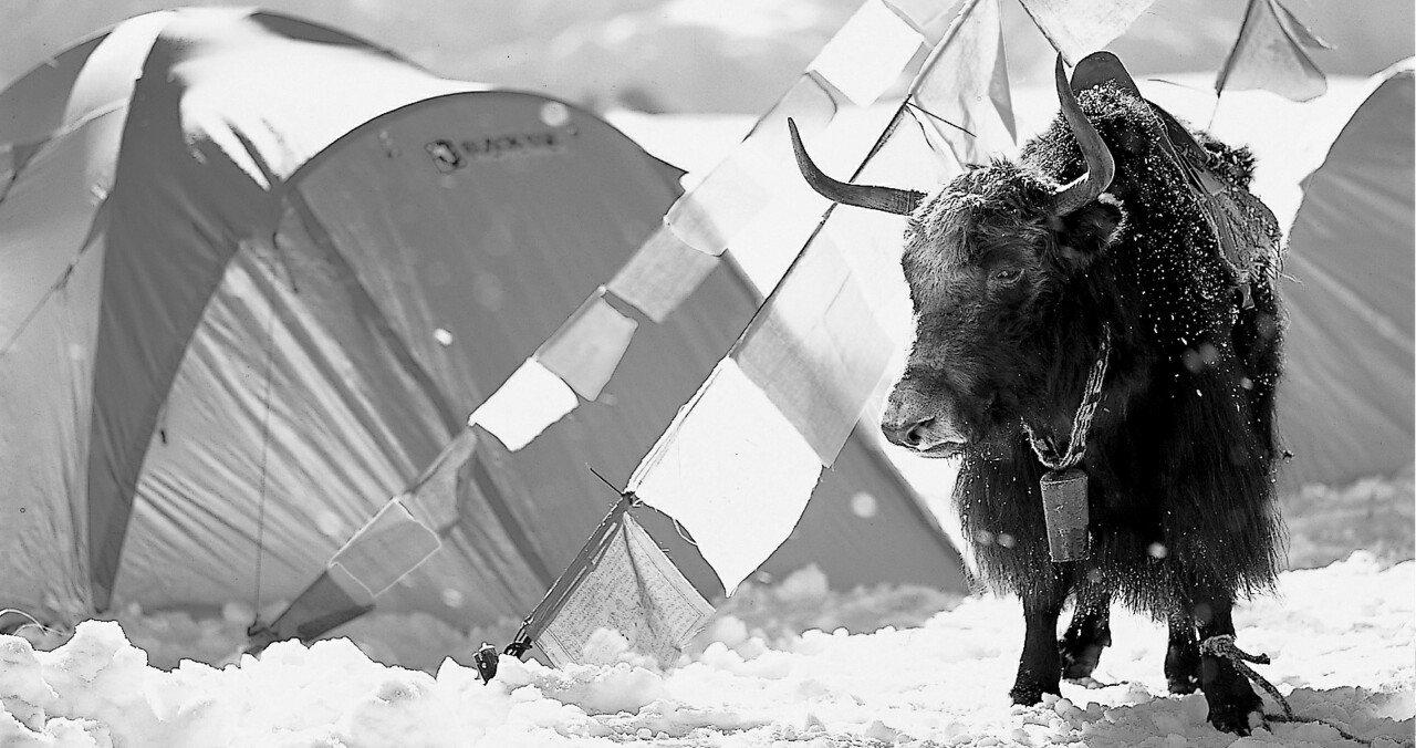 BlackYak - das schwarze Yak gab der Firma seinen Namen - © BlackYak