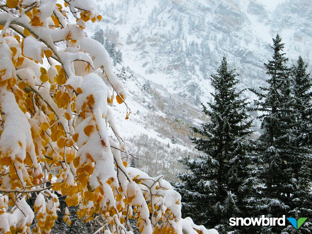 Snow on trees in Snowbird, Utah