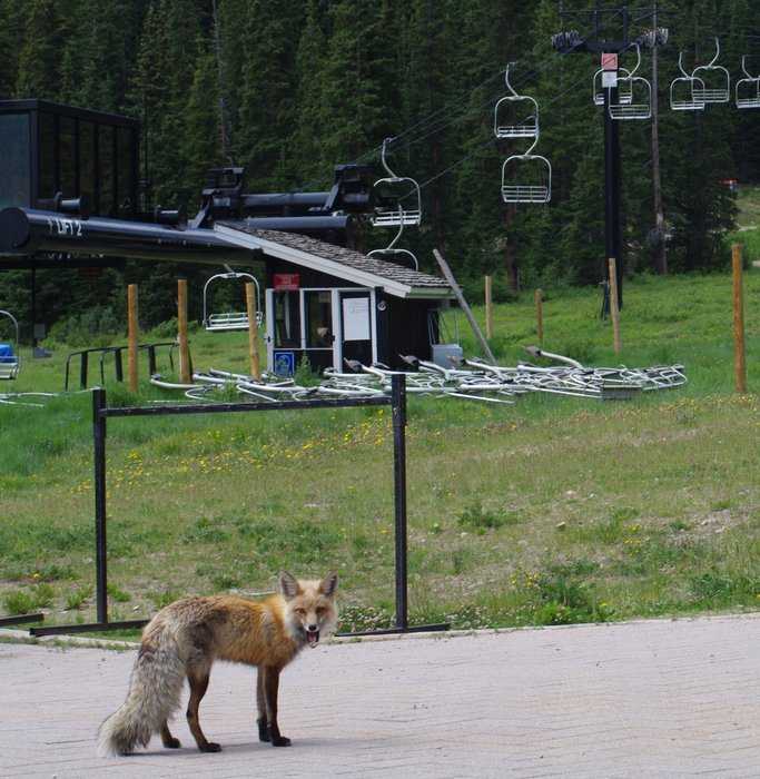 A fox near the chairlift at Loveland, Colorado, July 20, 2010..