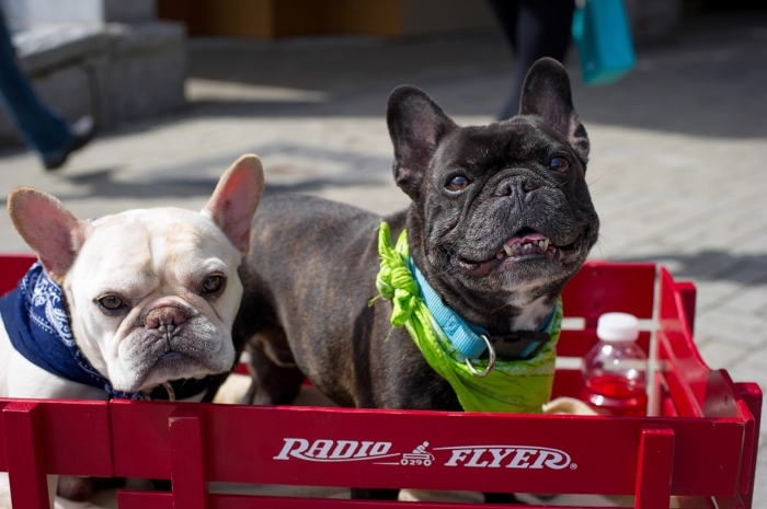 Two bulldogs enjoy the Whistler Dogfest as part of the Telus World Ski and Snowboard Festival.  Photo by Mike Crane/Tourism Whistler.