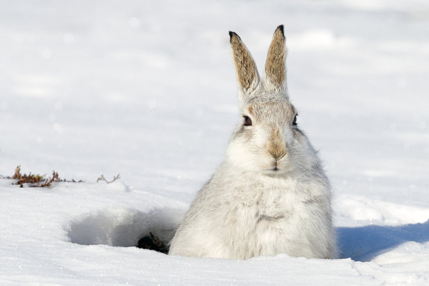 Sieht man ihn so, findet man ihn meistens niedlich. Steht man dagegen auf der Piste, kümmert einen der Schneehase, der wenige hundert Meter seinen Lebensraum hat, vielleicht gar nicht. Diese Denkweise sollte hinterfragt werden.  - © fotolia.de © markmedcalf (#114433165)