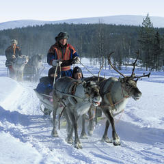 A traditional reindeer ride in Levi, Finland
